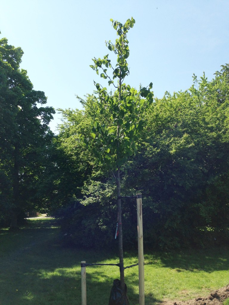 Duvträd - Halabja